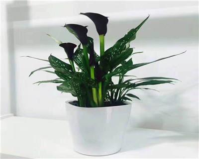马蹄莲盆栽