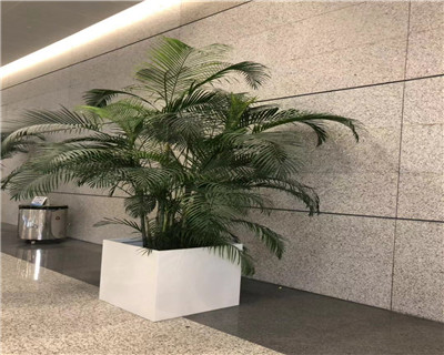 散尾葵盆栽
