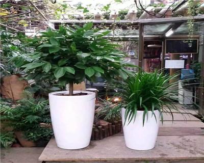 玉桂龙须树组合盆栽