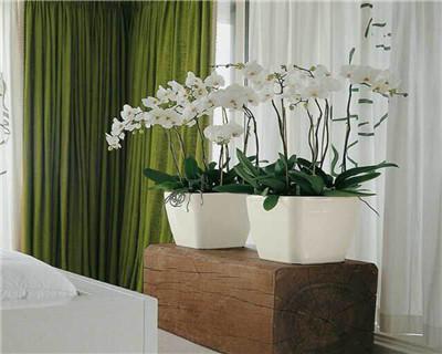 白色蝴蝶兰盆栽
