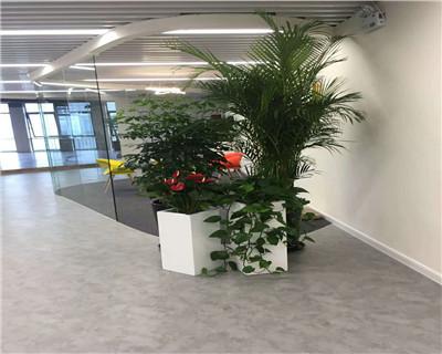 夏威夷竹红掌组合盆栽
