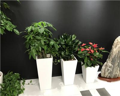 发财树螺纹铁红掌组合盆栽