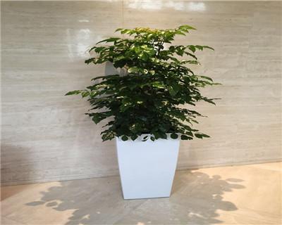 绿宝高盆盆栽