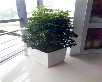鸭掌木盆栽