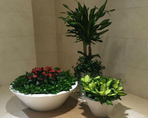 红掌白玉艺术组合盆栽