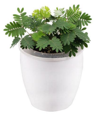 上海植物租赁公司带你了解羞羞的含羞草