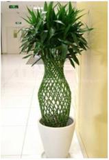 上海锦植小课堂:富贵竹笼的养护方法