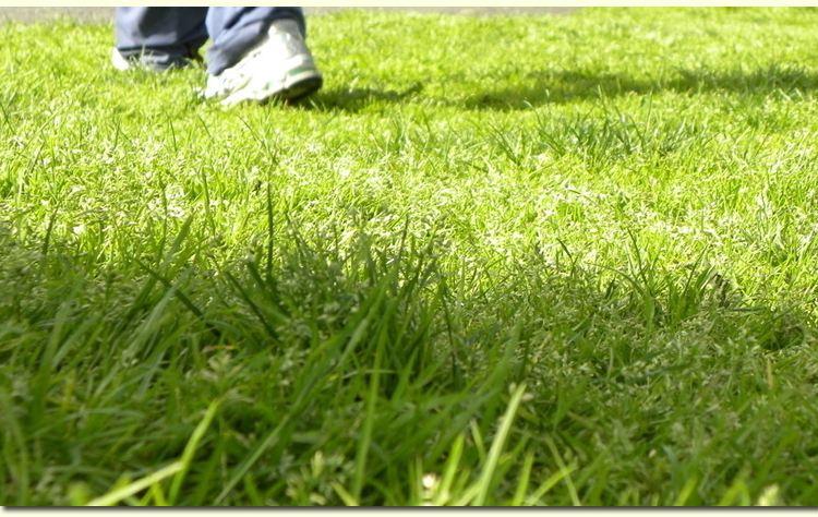 剪股颖草坪