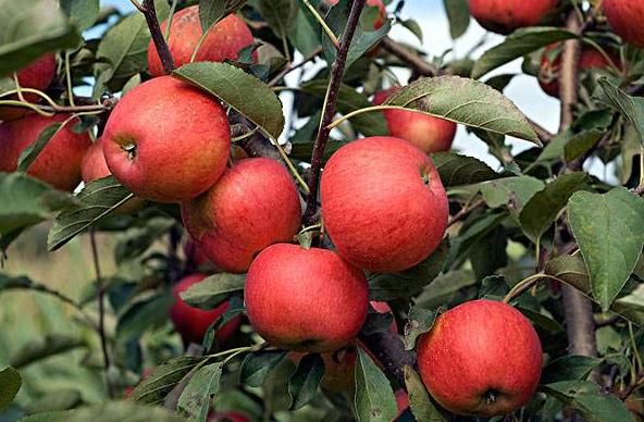 日本果園也要使用生物有機肥