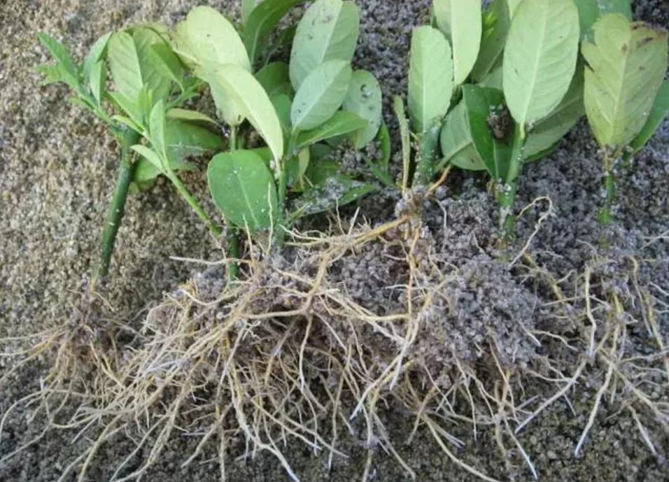 生物有機肥替代化肥,為什么選擇腐殖酸?