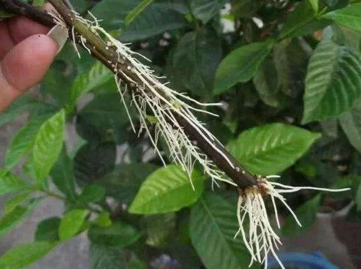 生物有機肥有很好的生根作用
