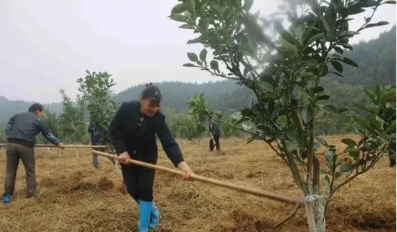 果樹最佳施有機肥的位置