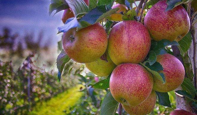 果樹高產_生物有機肥