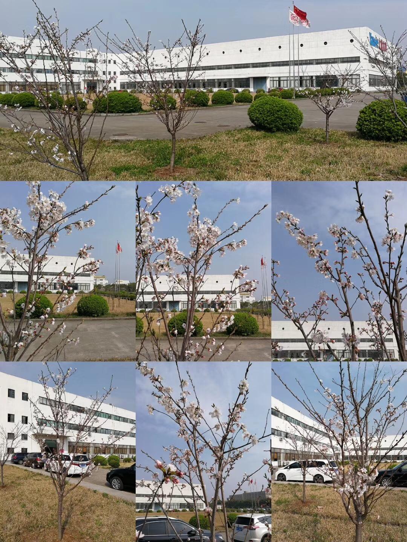 又是一年春来到,上海大和樱花悄然盛开