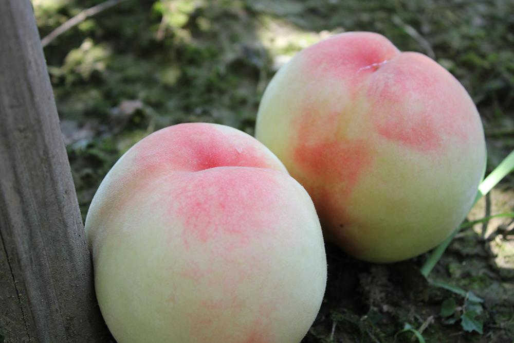 中熟品种水蜜桃--柳...