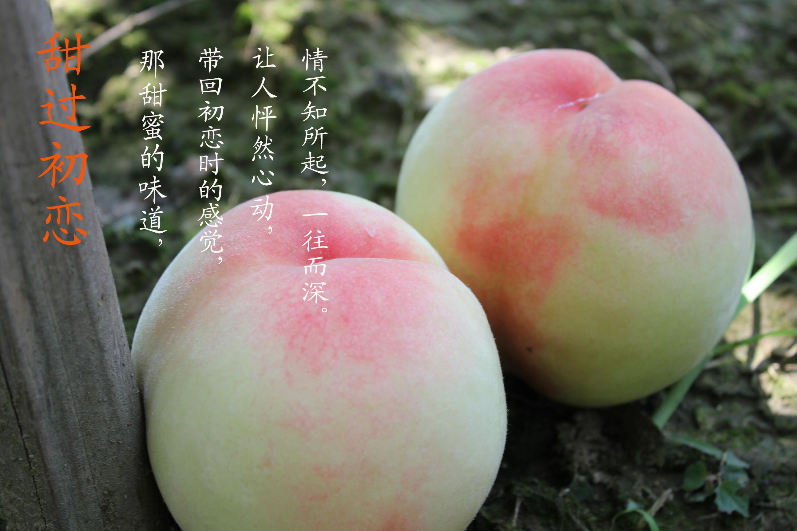 水蜜桃树种植前的准备...