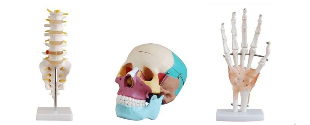 上海3D打印教学骨骼手板模型