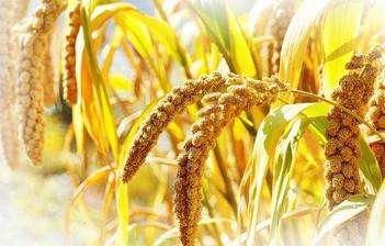 山东杂粮小米,孩子的主要能量来源!