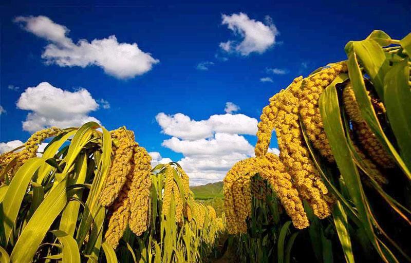 富硒小米致富经 带动蓼坞村民增收创收