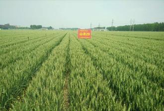 山农29号高产小麦种子品种(LS6109)简介