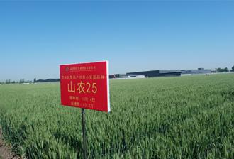 最新国审抗旱耐盐小麦品种——山农25