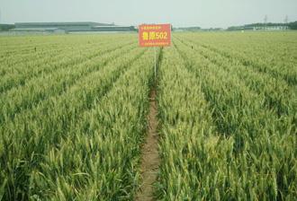 鲁原502号高产小麦种子品种简介