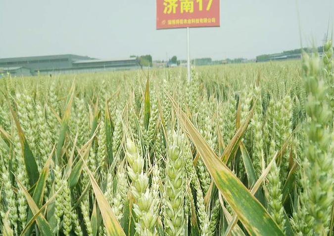 小麦种子的挑选以及注意事项