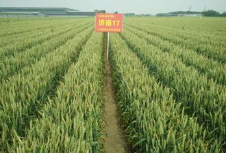 优质专用型小麦——济南17号