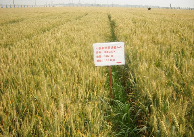 济麦22号小麦种子