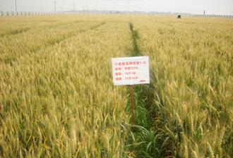 济麦22号小麦种子简介