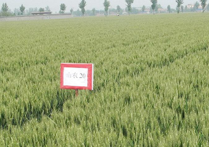 小麦种子的挑选工作都有哪些
