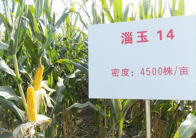 关于玉米种子的故事.jpg