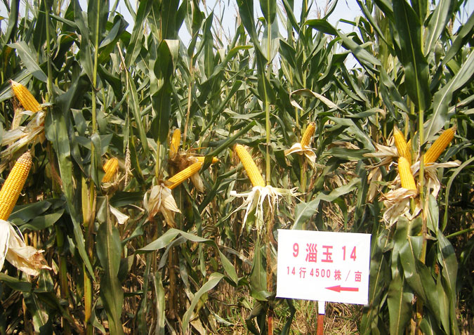 教你如何选择玉米种子