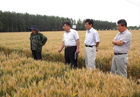 小麥新品種