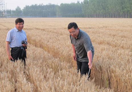 小麦新品种