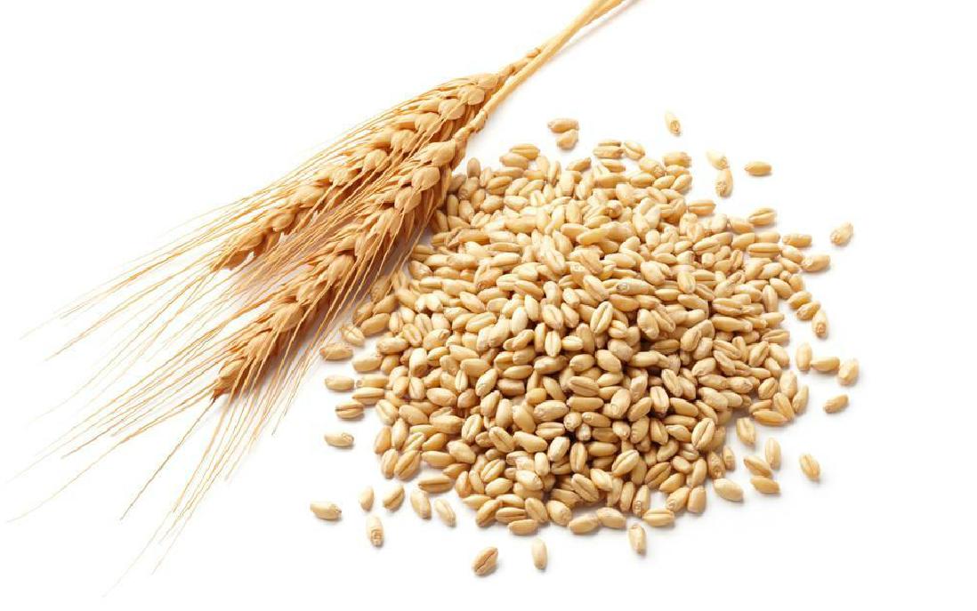 高产小麦良种