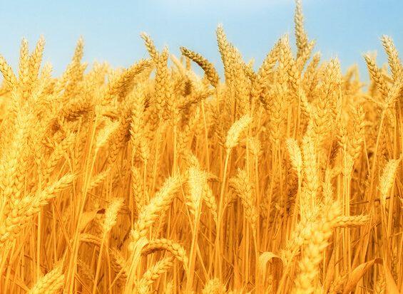 山东小麦种子