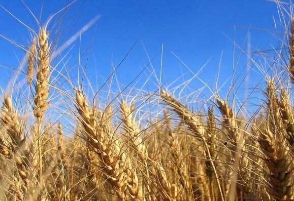 博信农业教你怎么种植小麦才能高产