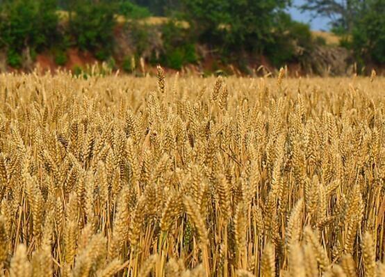 小麦品种识别