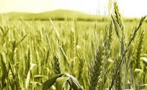 小麦种子收割前需要注意的事项