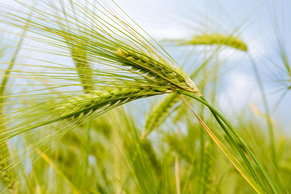 """如何选择可以实现""""稳高多""""的小麦新品种。"""