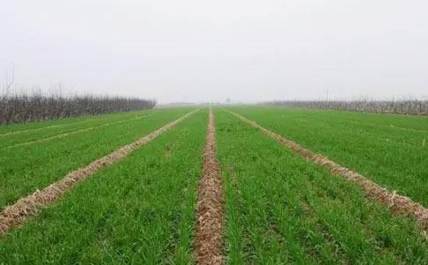 小麦种子缺氮的状态
