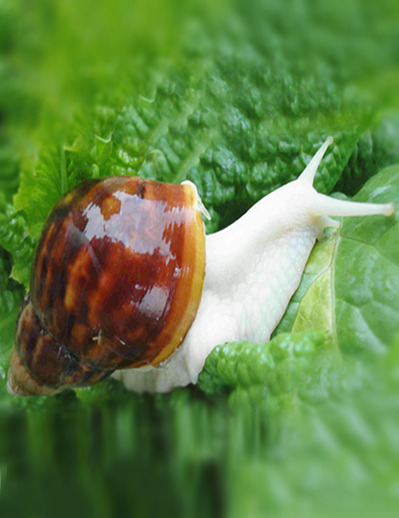 The cultivation of land snail