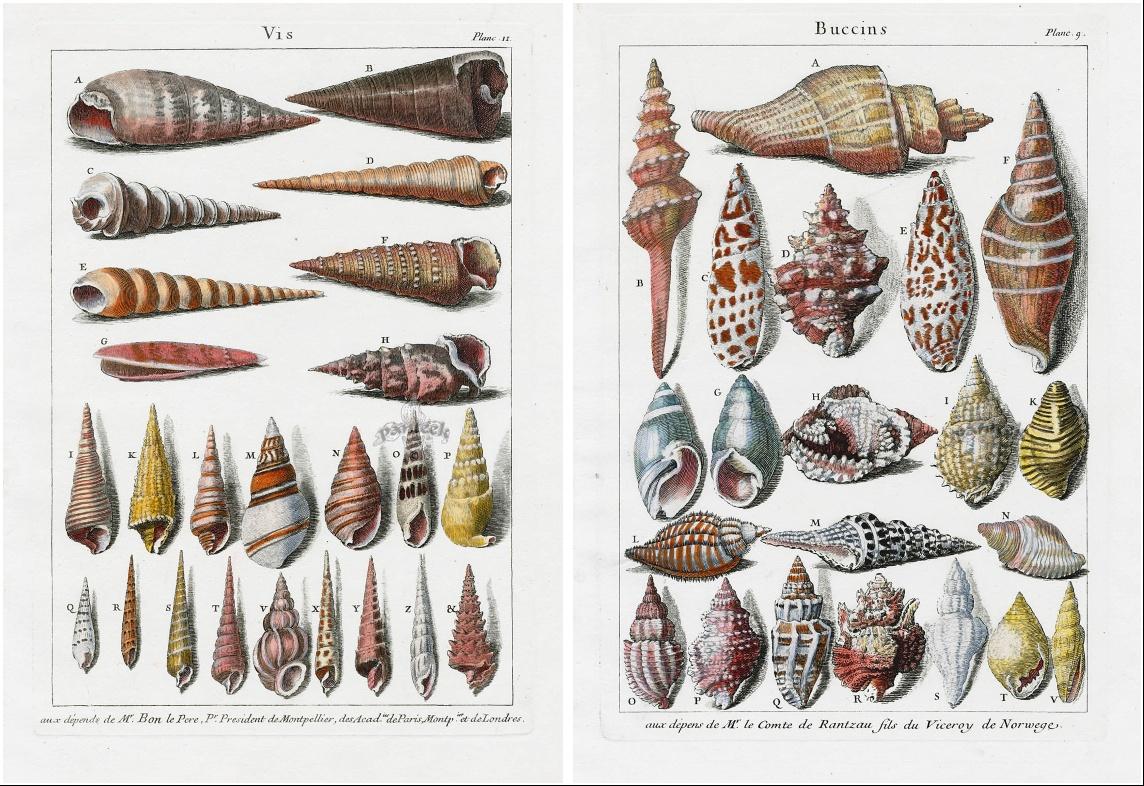17世纪大佬手绘的贝壳画,令人心服口服!