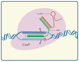 Alt-R CRISPR-Cas9系統