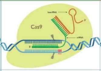 Alt-R HiFi Cas9 Nuclease V3